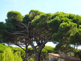 Pin parasol Pinus pinea 2.JPG