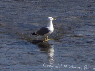 Herring Gull.Carassonne. Copyright © Shelley Banks, all rights reserved.