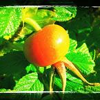 20120924-01-rosehip.jpg