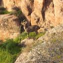 Mountain gazelle