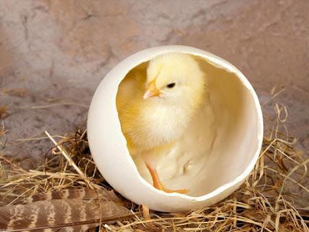 Ngắm hình ảnh những chú gà con dễ thương nhất đáng yêu vàng ươm vô cùng xinh xắn
