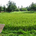 Angkor - Banteay Srey - Reisfeld
