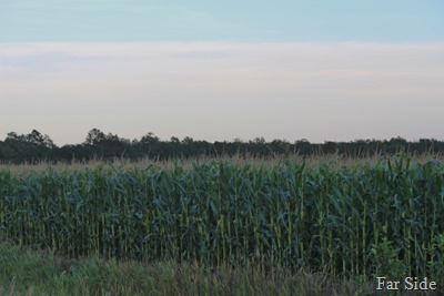 Corn Field July 22