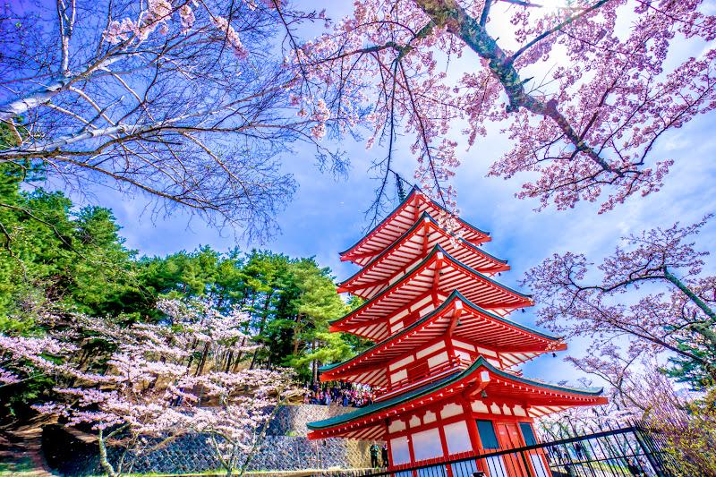 新倉富士浅間神社 桜 写真11