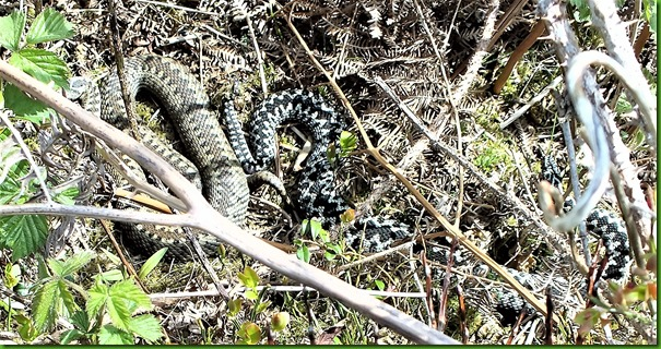 Adders May 1 2018