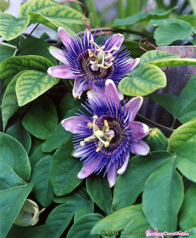 How to help Passion Flower Vine survive through Winter