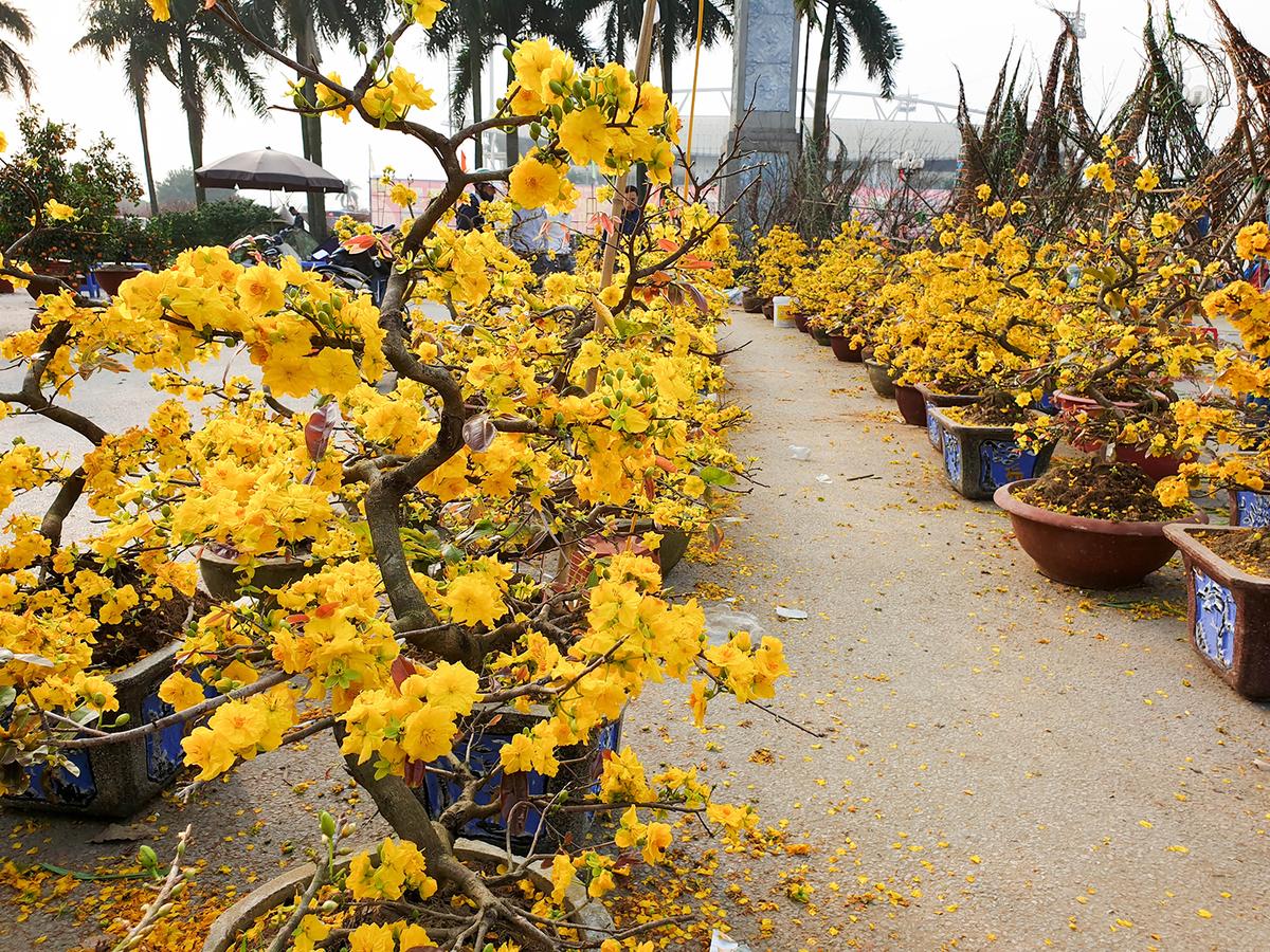 Mai là cây hoa sống lâu năm