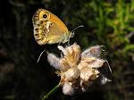 Coenonympha dorus4.jpg
