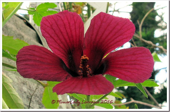 11-01-ruby-hibiscus2