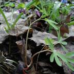 Растения Правобережной нагорной дубравы 001.jpg