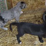 Serena & Jaspers 5-13-12 litter - SAM_3898.JPG