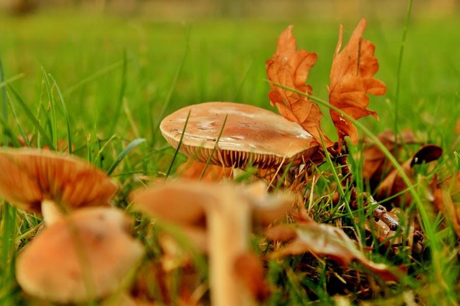Autumn Time by Yola Vandergunst - Nature Up Close Mushrooms & Fungi ( mushroom, paddestoel, fungi, nature, jamur )
