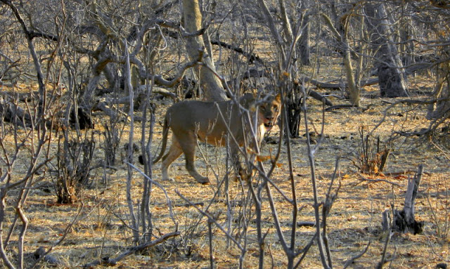 Lion in Chobe game reserve