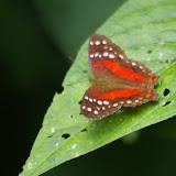 Anartia amathea amathea (Linnaeus, 1758). Sitío Muras, Santa María en Boyacá, 1000 m (Boyacá, Colombie), 1er novembre 2015. Photo : J.-M. Gayman
