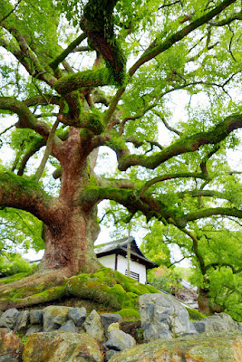 Mossy tree in Kyoto by Shorenin Temple entrance
