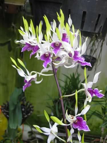 Hoa lan dendro nắng