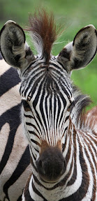 Baby Zebra, South Africa