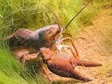 Crawfish (© 2012 Bernd Neeser)