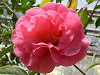 桃色 八重〜牡丹咲き 大輪