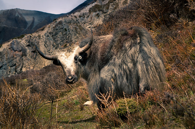 yak in nepal, dmitry a. mottl