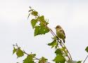 orpheusspotvogel.jpg