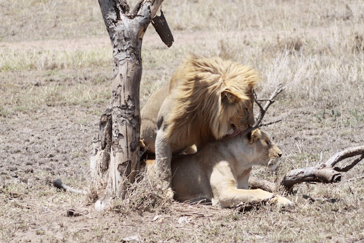 How Do Lions Have Sex 117