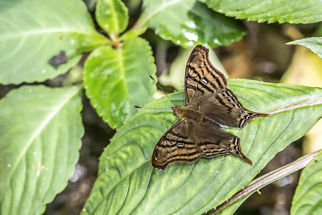 Hypanartia dione dione (Latreille, [1813]). Quebrada Chirajara, 1050 m (Cundinamarca, Colombie), 10 novembre 2015. Photo : B. Lalanne-Cassou