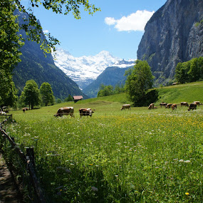 Yoghurt Commercial by Diane Dunn - Landscapes Prairies, Meadows & Fields ( meadow, switzerland, cattle )