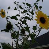 Gardening 2013 - 115_7240.JPG