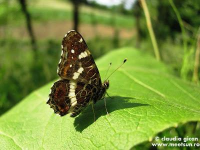 fluture pe un brusture