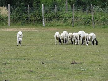2018.07.19-026 moutons de Somalie