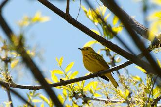 Photo: Yellow Warbler (Goldwaldsänger); Kingston, ON