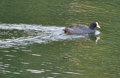 27-Aug-2011 Common Coot Pic: Sujesh S.