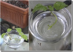 1425810962-how-to-propagate-lemon-balm