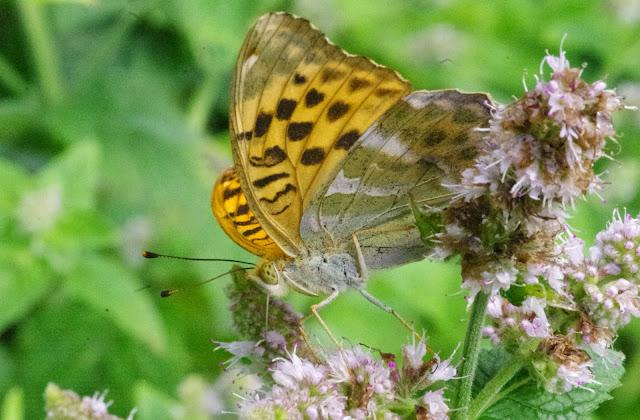 Argynnis paphia (L., 1758), femelle. Chemin La Rodé (620 m), Cocurès (Lozère, France), 2 août 2014. Photo : J.-M. Gayman