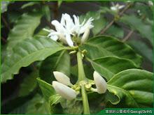 咖啡樹花苞與花朵