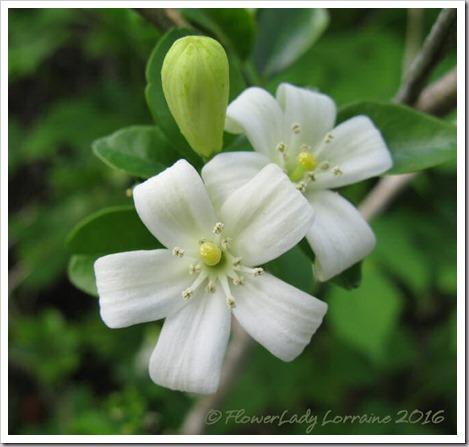 05-27-orange-jasmine