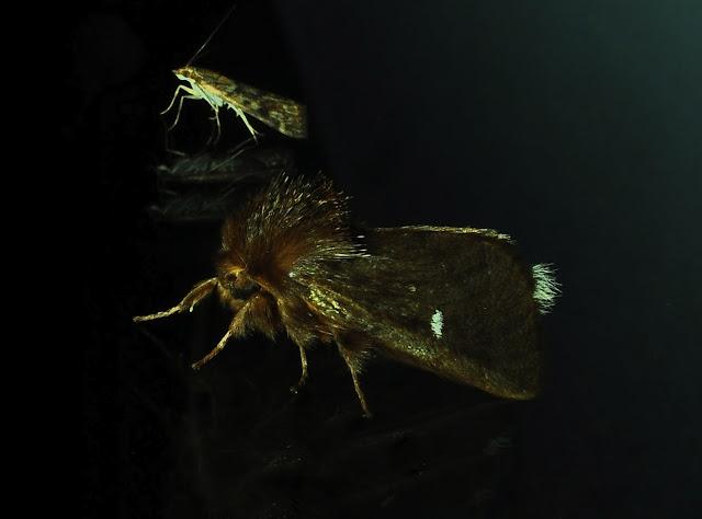 Notodontidae : Ochrogaster lunifer HERRICH-SCHAFFER, [1855]. Umina Beach (NSW, Australie), 10 novembre 2011. Photo : Barbara Kedzierski