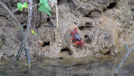 Indian-River-Domimica-Red-Crab