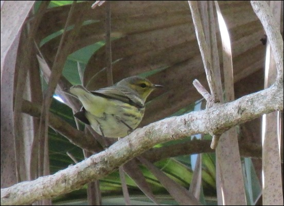 Cape May Warbler Bird (1)
