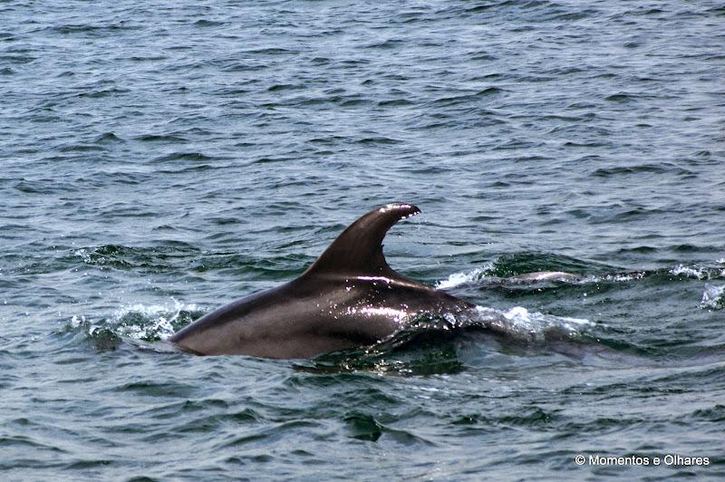 Golfinhos no Estuário do Sado