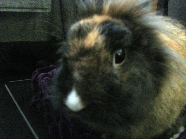 [adoptée]-Nala, lapine noire et marron, avec le bout du nez blanc 18242233A