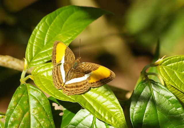 Adelpha cytherea LINNAEUS, 1758. Saut Athanase (Guyane). 21 novembre 2011. Photo : J.-M. Gayman