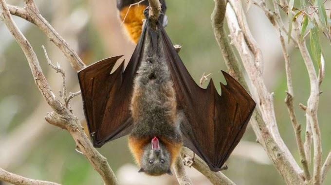 चमगादड़ हमेशा उल्टे ही क्यों लटकते हैं? Why Do Bats Hang Upside-Down?