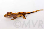 Mezzy - Sweet harlequin crested gecko from tricolor project at http://moonvalleyreptiles.com