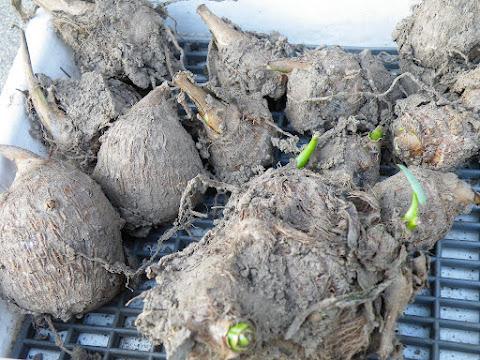 サトイモの種芋