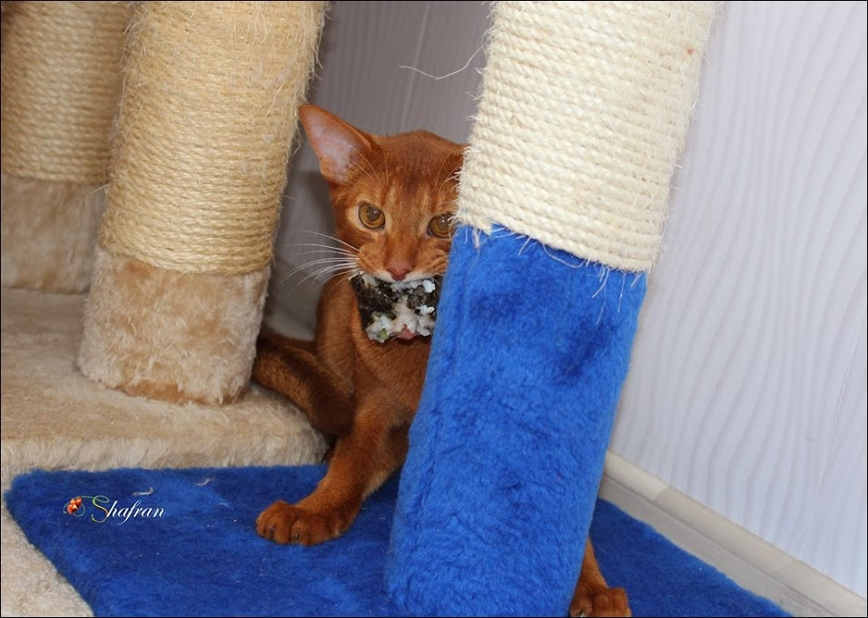 питомник абиссинских кошек Шафран
