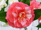 紅色 八重〜牡丹咲き 極大輪