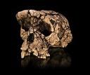 Sahelanthropus tchadensis TM 266 01 060 1