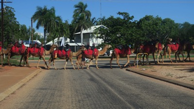 Camels on way to beach